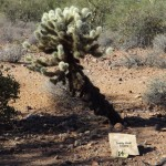 Nature Walk at Superstition Mountain - Lost Dutchman Museum - Teddy Bear Cholla
