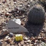 Nature Walk at Superstition Mountain - Lost Dutchman Museum - Barrel Cactus