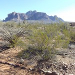 Nature Walk at Superstition Mountain - Lost Dutchman Museum - Creosote Bush