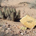 Nature Walk at Superstition Mountain - Lost Dutchman Museum - #22, Hedge Hog Cactus