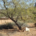 Nature Walk at Superstition Mountain - Lost Dutchman Museum - #23, Mesquite Tree